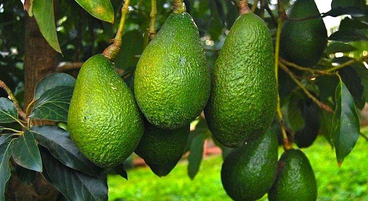 Авокадо – взгляд по ту сторону океана